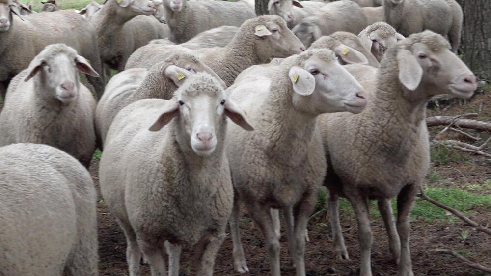 Die Schafe der Schäferei in Rothenburg ob der Tauber im Taubertal
