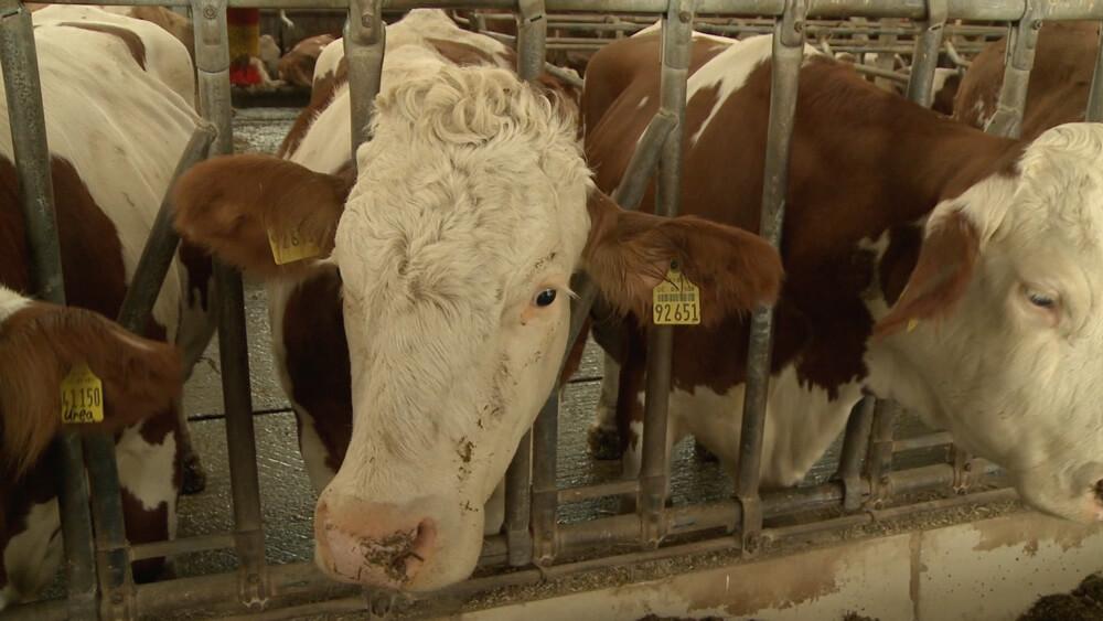 Kuh Hanuta im Stall vor der Auktion