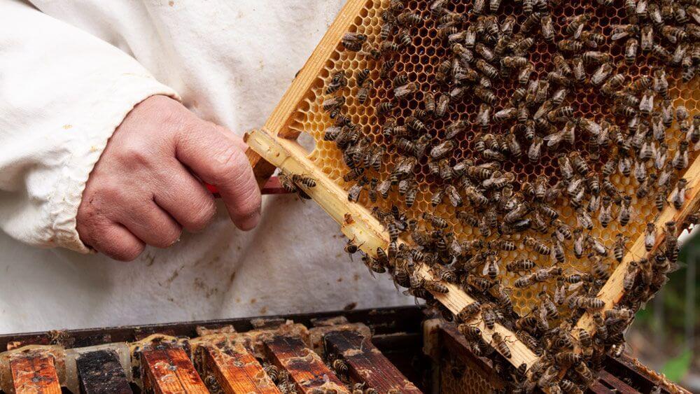 Die Hand des Imkers hält einen Rahmen aus dem Bienenkasten mit vielen Bienen darauf in der Hand.